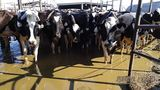 Second dairy farm in Okeechobee facing accusations of animal cruelty