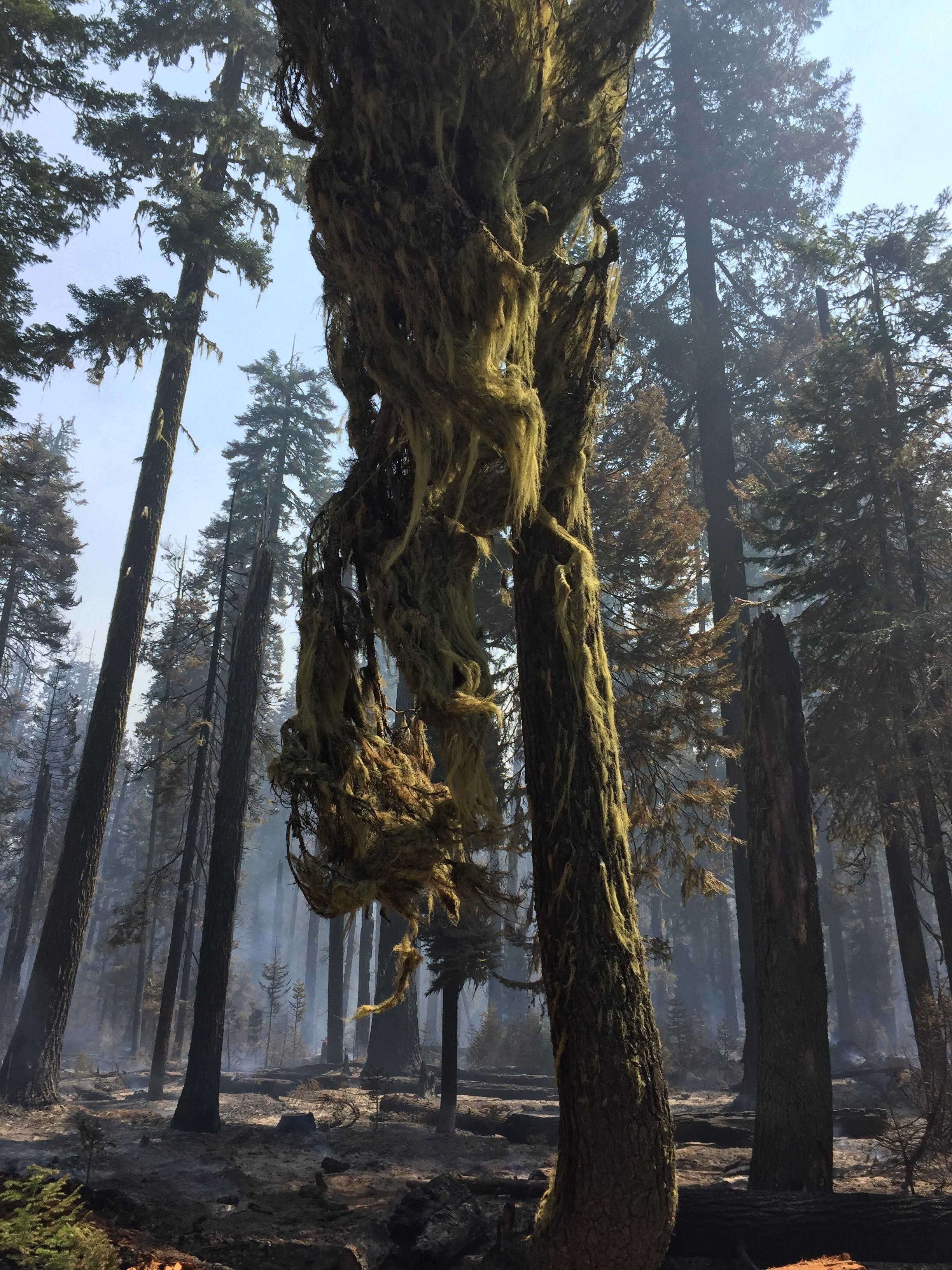 Mossy Tree is observed within the fire area on the Spruce Lake Fire, August 3, 2017. (InciWeb)
