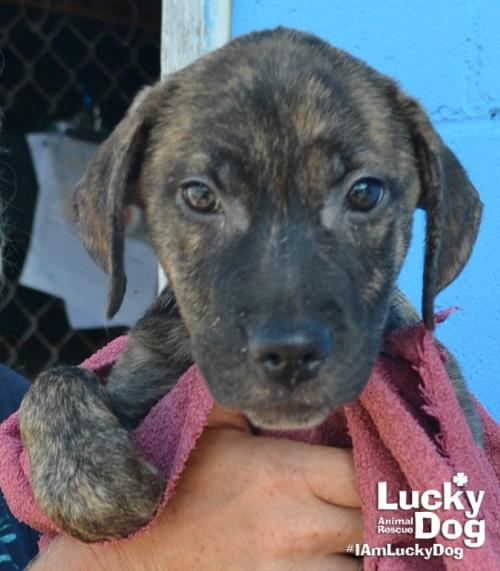 Angel is a 10-week-old, 12-pound Shepherd mix who was evacuated before the storm from{ }Florence, South Carolina. If you are interested in adopting Angel you can meet her{ }Sunday (September 16) from 12-2 pm at the Kentlands PetSmart in Gaithersburg, MD. (Image: Courtesy Lucky Dog Animal Rescue){ }