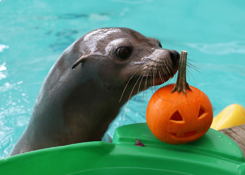 Cute Little Pumpkins: Fur seals, sea lions enjoy tricks ...
