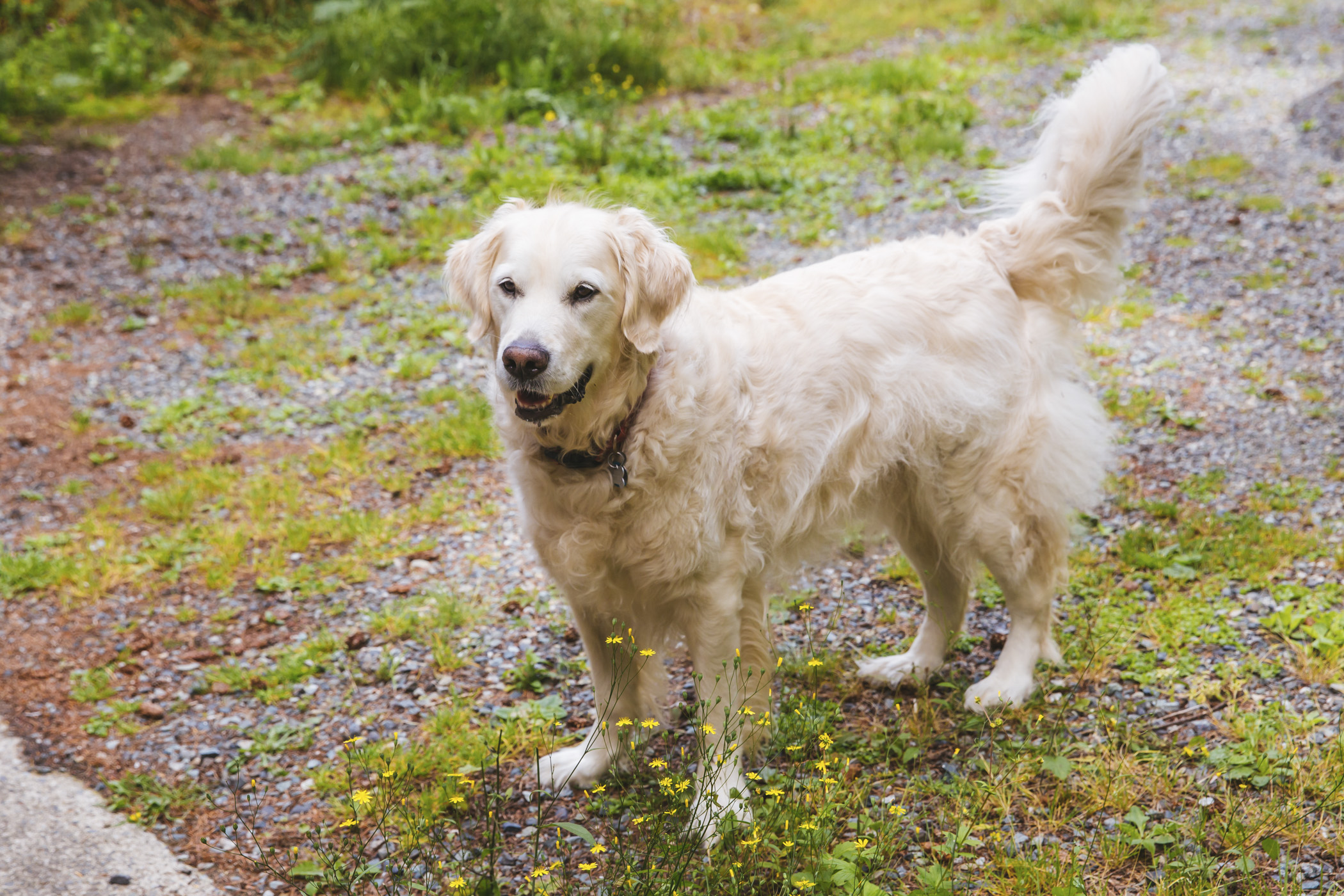 Meet Polar, a five-year-old English Cream Golden Retriever! Polar likes to eat (he's very food driven) and to travel. He's been to 17 states and counting! He dislikes being left alone and doesn't appreciate watching his friends and neighbors play without him.{ }The Seattle RUFFined Spotlight is a weekly profile of local pets living and loving life in the PNW. If you or someone you know has a pet you'd like featured, email us at hello@seattlerefined.com or tag #SeattleRUFFined and your furbaby could be the next spotlighted! (Image: Sunita Martini / Seattle Refined).