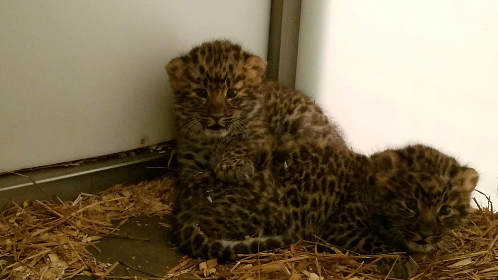 Cute Alert: Greenville Zoo Baby Boom Continues With New Leopard Cubs!