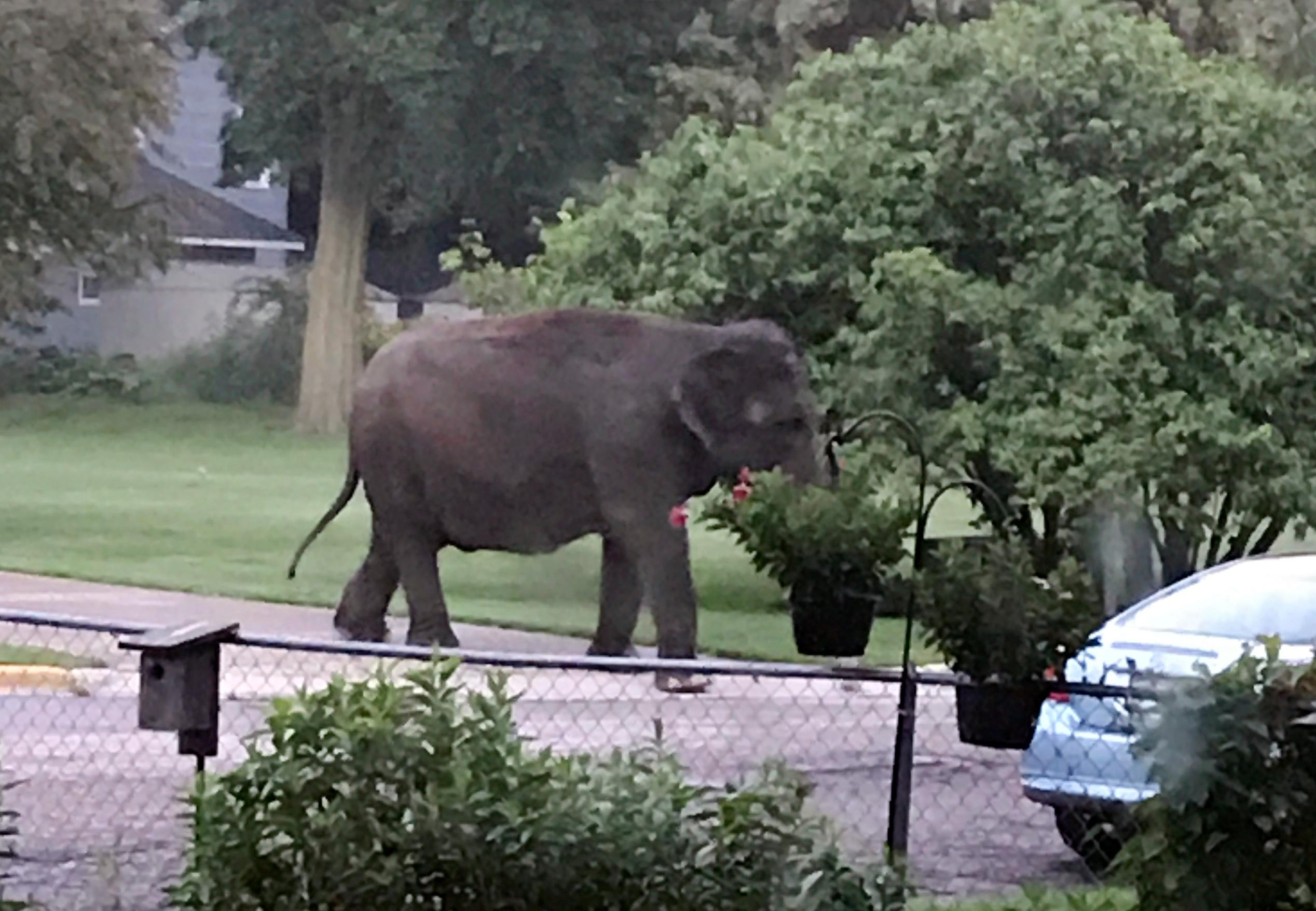 An elephant walks in the street, Friday, June 30, 2017, in Baraboo, Wis. Law enforcement officers quickly got in touch with the nearby Circus World Museum, home to the wandering pachyderm. A trainer arrived and led the elephant back to the circus complex. (Jaime Peterson via AP)