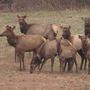 West Virginia elk killed by ambulance