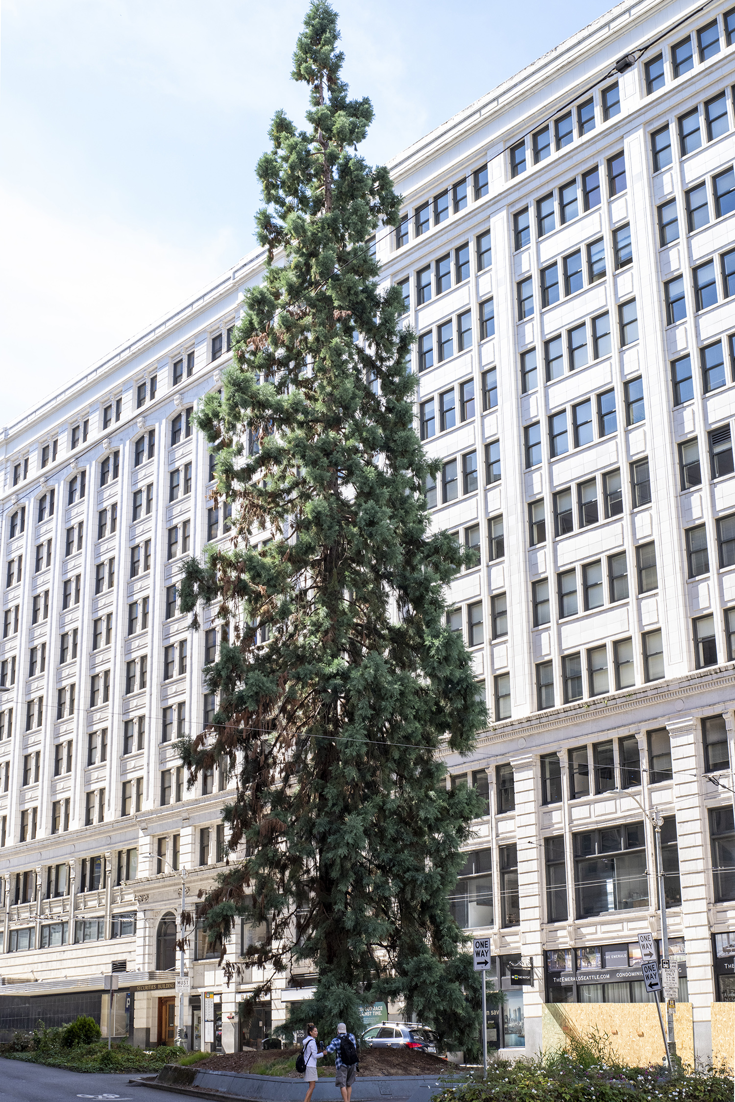 A giant Sequoia tree towers confidently between tech-biz skyscrapers in downtown Seattle. Still growing strong today, and properly maintained by city officials, the tree is decorated each holiday season with lights and a natural reminder of the city's past. (Image: Rachael Jones / Seattle Refined)