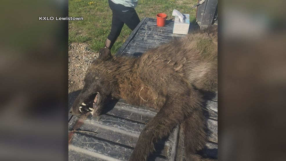 Montana Werewolf Corpse case solved : OR so they say.... 27e7c0a2-b0e0-4086-a588-27a4331d59d3-large16x9_wolflikeanimalshot