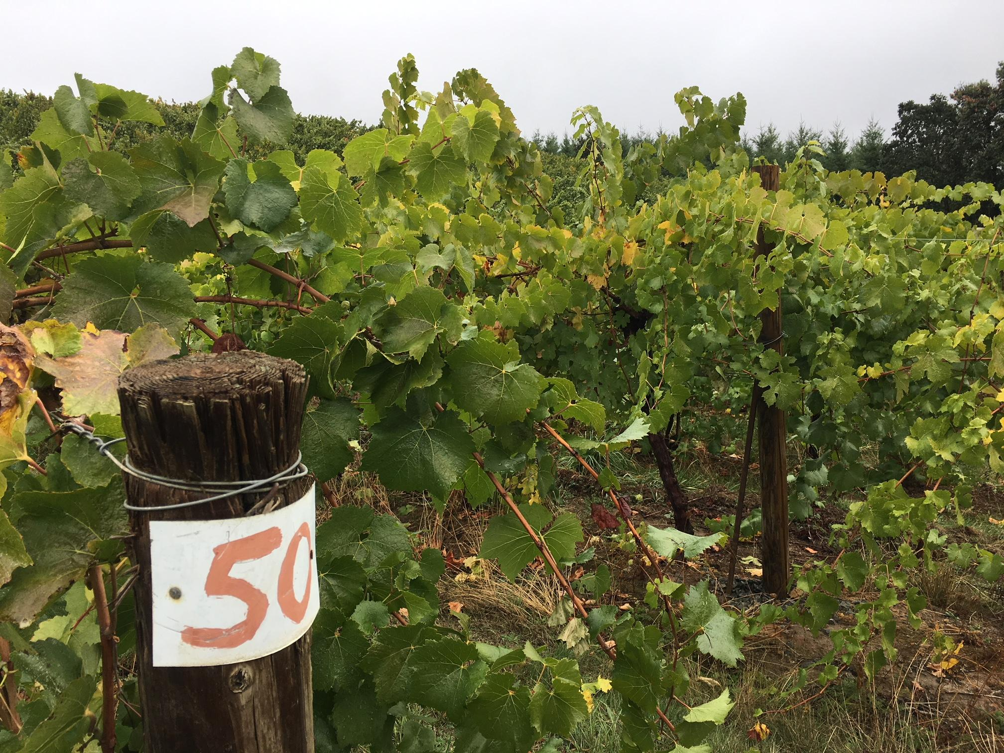 "Even if a winery escapes destruction, the ""smoke taint"" will be concern for winemakers, Danuta Pfeiffer said. ""The grapes are going to absorb all that smoke, and it's going to affect the vintage if the grapes are still hanging,"" she said. That's not just an issue right now for California. Pfeiffer said Oregon winemakers in areas impacted by this past summer's wildfires have smoke taint on their minds. (SBG)"