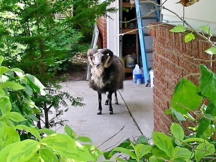 Debbie Reed snapped this photo of the ram on Tuesday, July 9, 2019 near her garage. (Photo courtesy Debbie Reed)