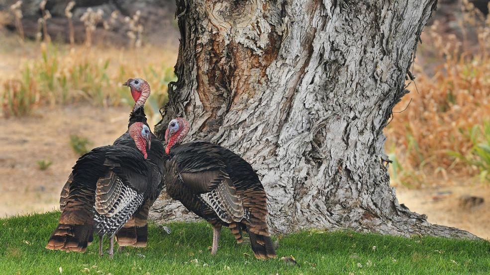 oregon town tires of wild turkey troubles we re never going to get