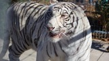 Arkansas wildlife refuge takes in white tiger from Nebraska zoo