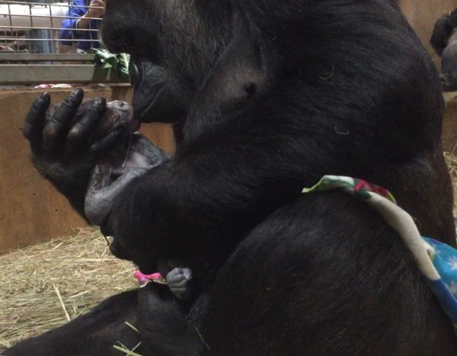 Calaya and her infant Moke in the Great Ape House at the Smithsonian's National Zoo in Washington. (Matt Spence/Smithsonian's National Zoo)
