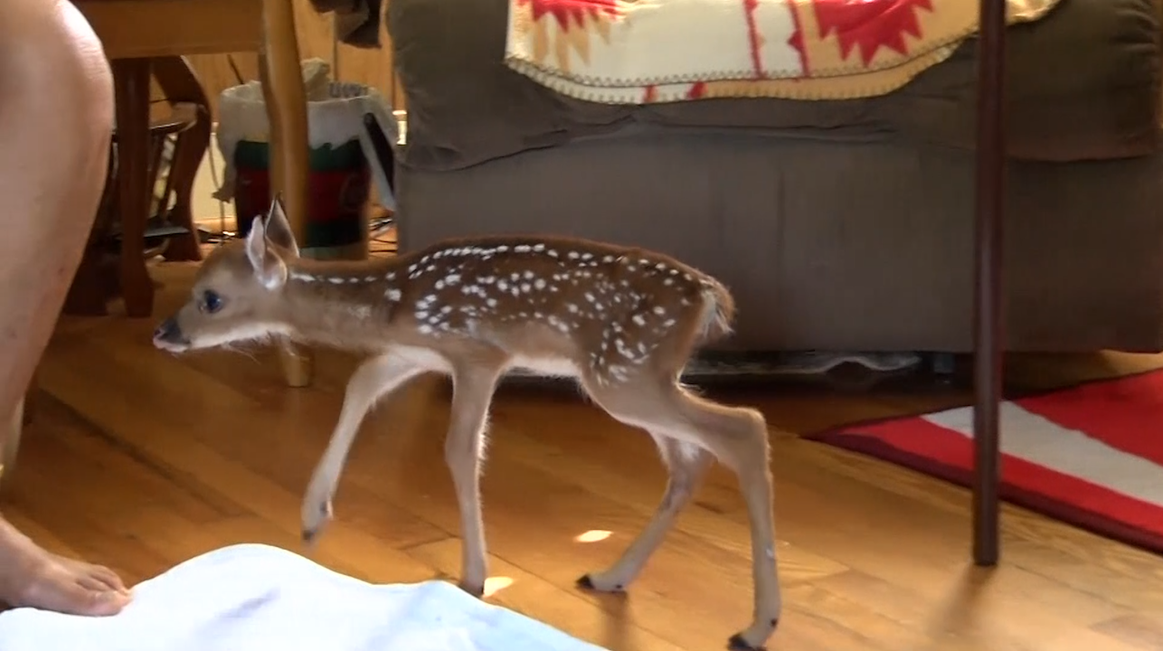 Nancy Whisenant is nursing a tiny fawn back to health. (WBTV/CNN Newsource)