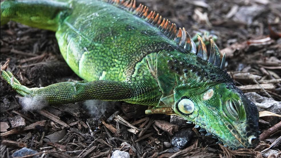 Forecasters warn Floridians of falling iguanas during cold snap (1).jpg