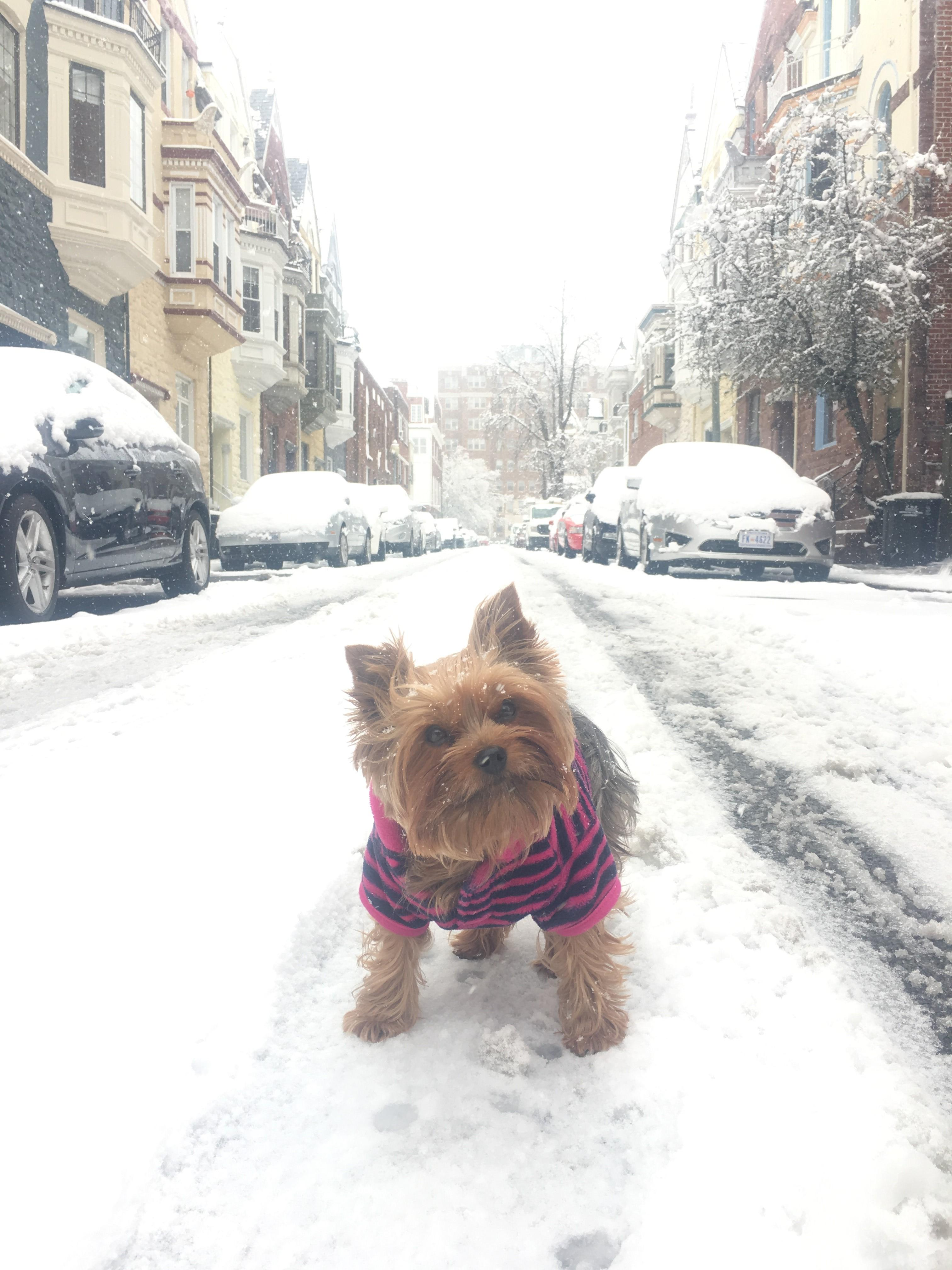 D.C. finally got its first real snowfall of the season -- on March 21! Given that it's the probably the only flakes we'll see for a while, the pups of the DMV decided to really live it up. Check out a few of the adorable pets we spotted chilling in the snow today!{ } (Image: Courtesy Caroline Byne/ IG user @yorkieheaven)
