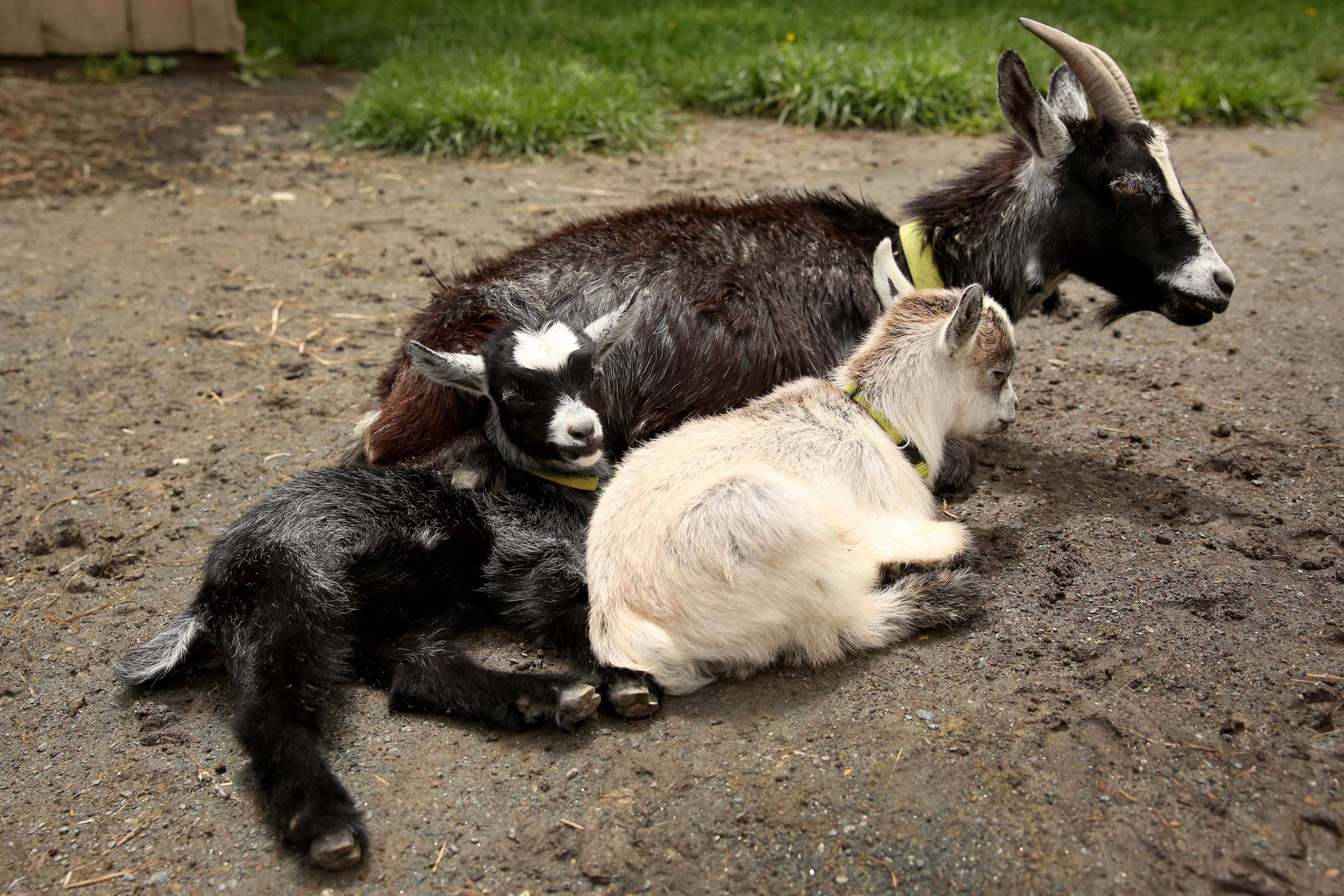 Clark's Elioak Farm in Ellicott City has  a petting zoo filled with all sorts of cute animals, but they recently debuted the newest members of their family - baby goats! They're even cuter in person - the trip is absolutely worth it. (Amanda Andrade-Rhoades/DC Refined)