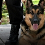 NY senator wants new penalties for police animal injuries
