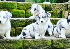 Cardigan Welsh Corgi puppies from Black Diamond (Anonymous).jpg