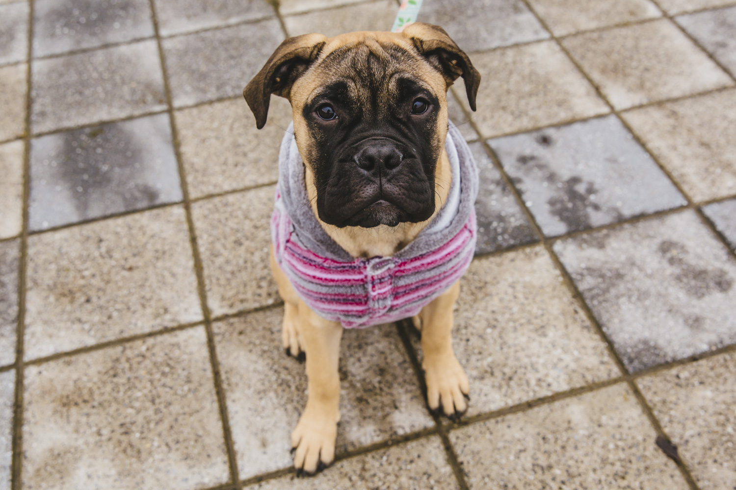 Heeeeere's Nelly! This little cutie is a six month old Bullmastiff and is the biggest pup in puppy class and lives in Eastlake with her parents. Nelly likes Woodlawn Dog Park, peanut butter, watching football with her family, treats, her roommate Dwayne who is a black lab and car rides. She dislikes getting her nails trimmed, not being able to reach the peanut butter jar and stairs.  You can follow Nelly's journey through life at @nellythebullmastiff. The Seattle RUFFined Spotlight is a weekly profile of local pets living and loving life in the PNW. If you or someone you know has a pet you'd like featured, email us at hello@seattlerefined.com or tag #SeattleRUFFined and your furbaby could be the next spotlighted! (Image: Sunita Martini / Seattle Refined).