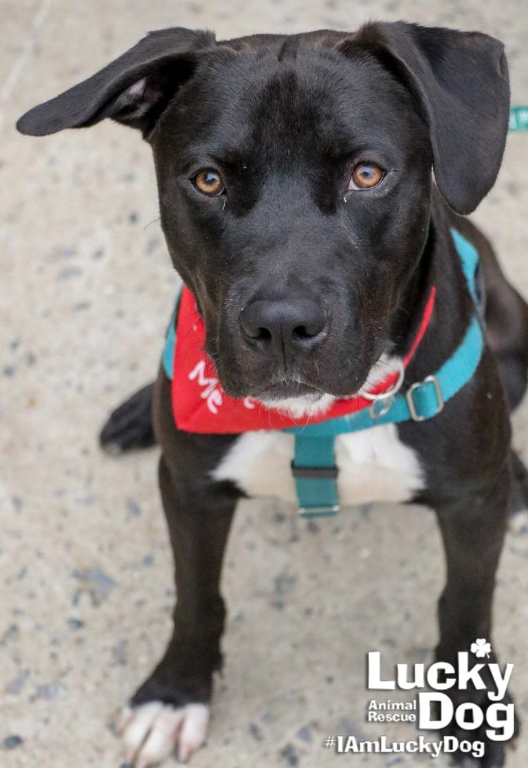 "DC Refined is currently seeking our 2018 class of ""Most Eligible Bachelors"" who will pose with adoptable dogs from our partner organization Lucky Dog Animal Rescue.  Our chosen gentlemen will get a mini photoshoot with one of Lucky Dog's adoptable puppers, such as 11.5-month-old Buddy{ } pictured here. If you're interested in participating in our eligible bachelors and adoptable dogs photoshoot, find out how you can participate here: https://bit.ly/2uDnjVQ"
