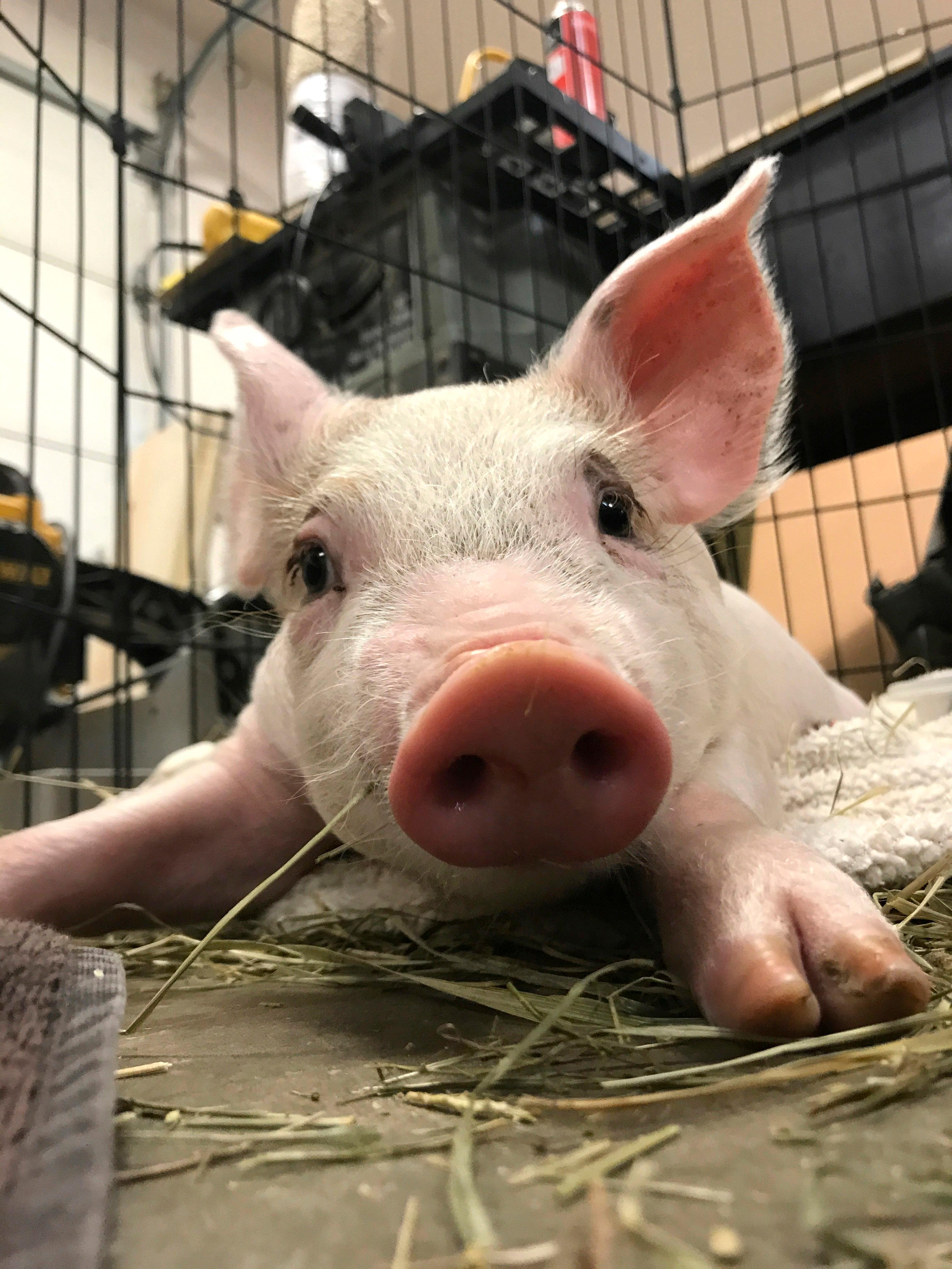 In this Thursday, Aug. 3, 2017 photo provided by Francesca McAndrews, a piglet, who McAndrews named Enzo sits in a pen in Lancaster, Pa. McAndrews, who rescued the piglet that was darting in and out of morning rush hour traffic, is getting help from local businesses to fund a surgery the animal needs to survive.  (Francesca McAndrews via AP)