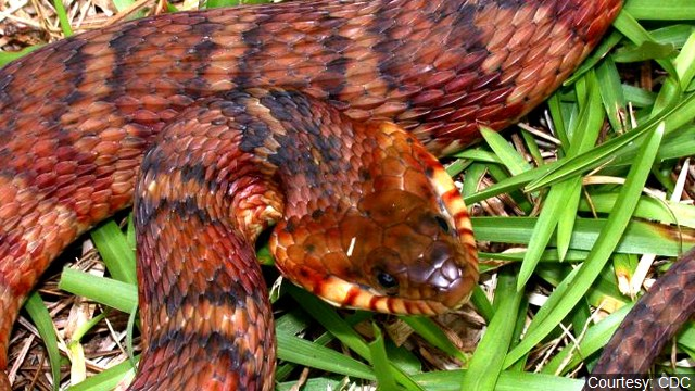 The banded water snake or southern water snake is a species of mostly aquatic, nonvenomous, colubrid snake endemic to the central and southeastern United States (Photo: MGN Online)