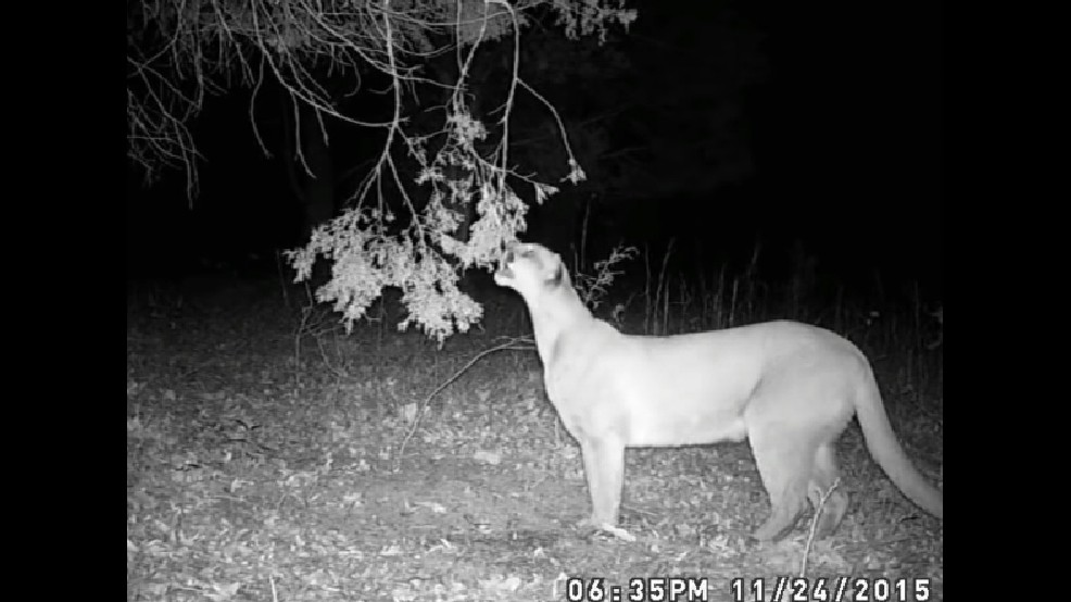 This was one of the first trail camera photos of a cougar taken in a Humphreys County, Tenn. in November 2015. (Image courtesy TWRA)