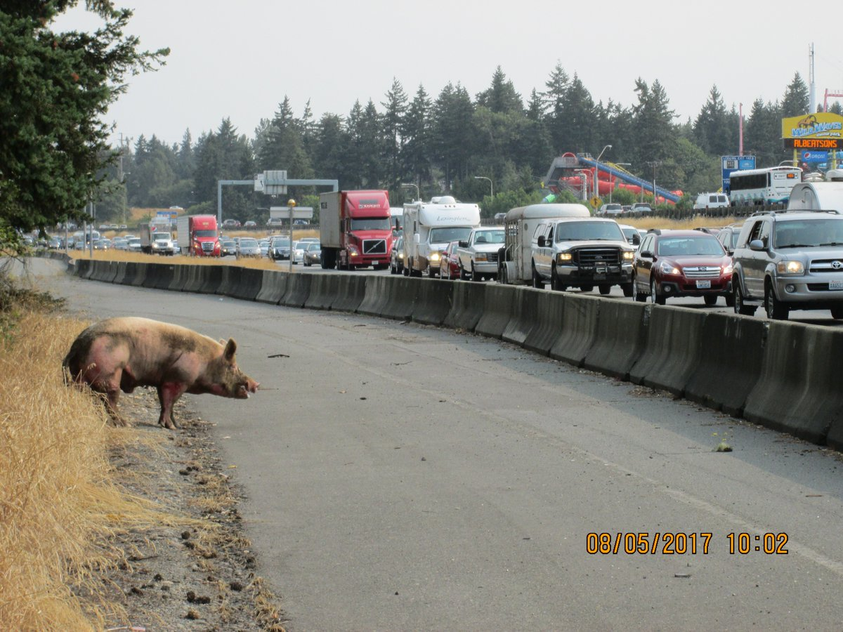 Authorities responded to the scene and corralled the pig. DOT photo.