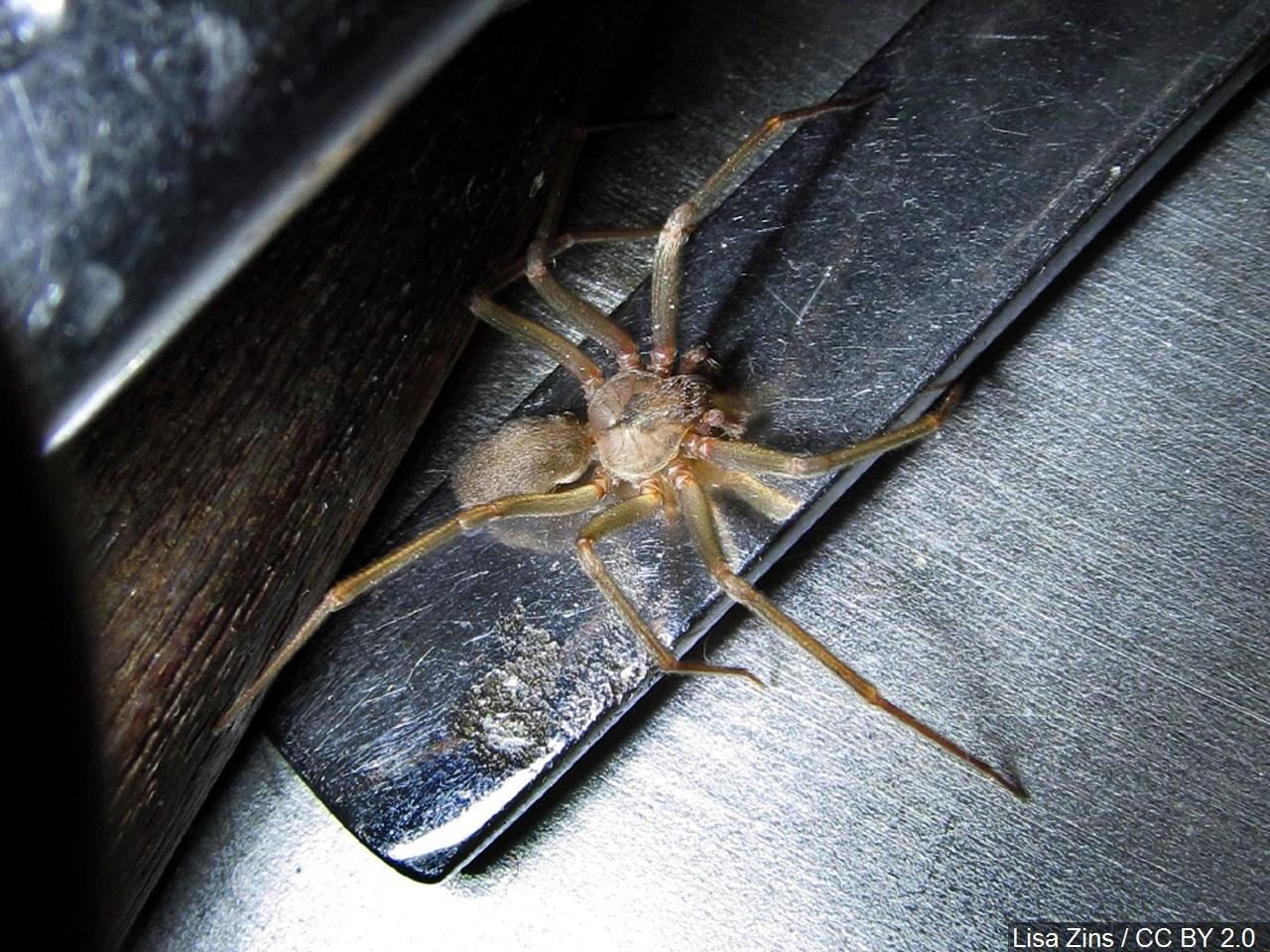 The horror of finding an apartment infested with a population of harmful brown recluse spiders became life a life-threatening reality for a a Tennessee renter. (Photo MGN)