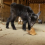 Sunflower Farm offers visiting hours with baby goats
