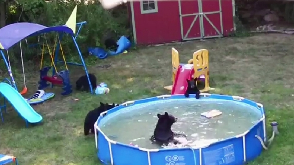 Watch Family Of Bears Cool Off In Backyard Pool During N J Heat Wave Komo