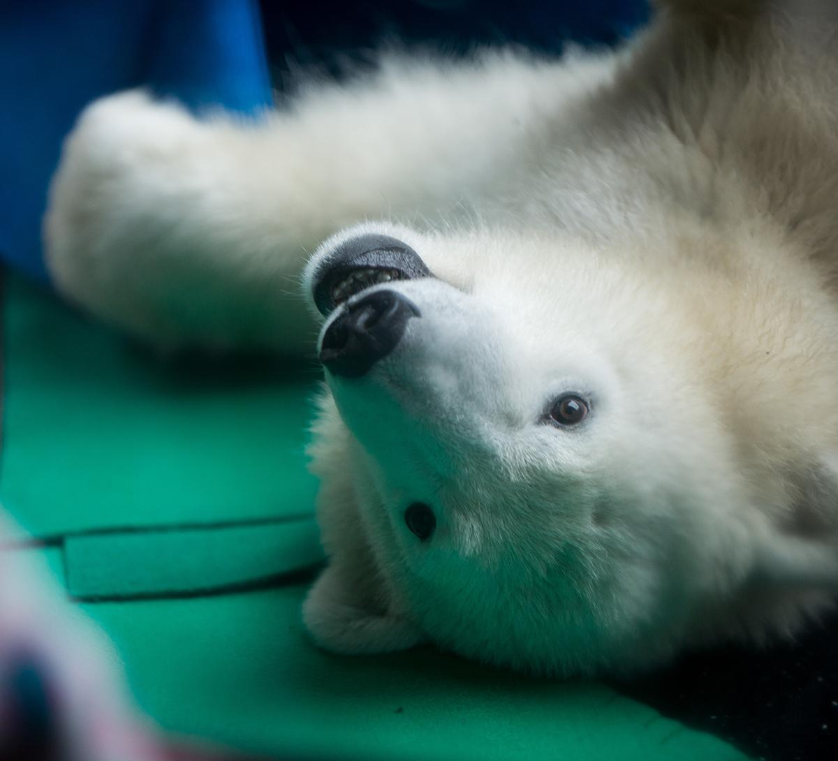 Nora the 1-year-old polar bear cub is making her first public appearances at the Oregon Zoo starting November 28, 2016 since her move to the Pacific Northwest from the Columbus Zoo earlier this year. (KATU photo by Tristan Fortsch)