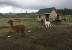 CROSS CREEK ALPACA RESCUE - PHOTO 5.JPG