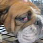 Humane Society of the United States' Horrible Hundred includes 9 Iowa puppy mills