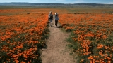 Wildflowers, dormant for years, bloom across California