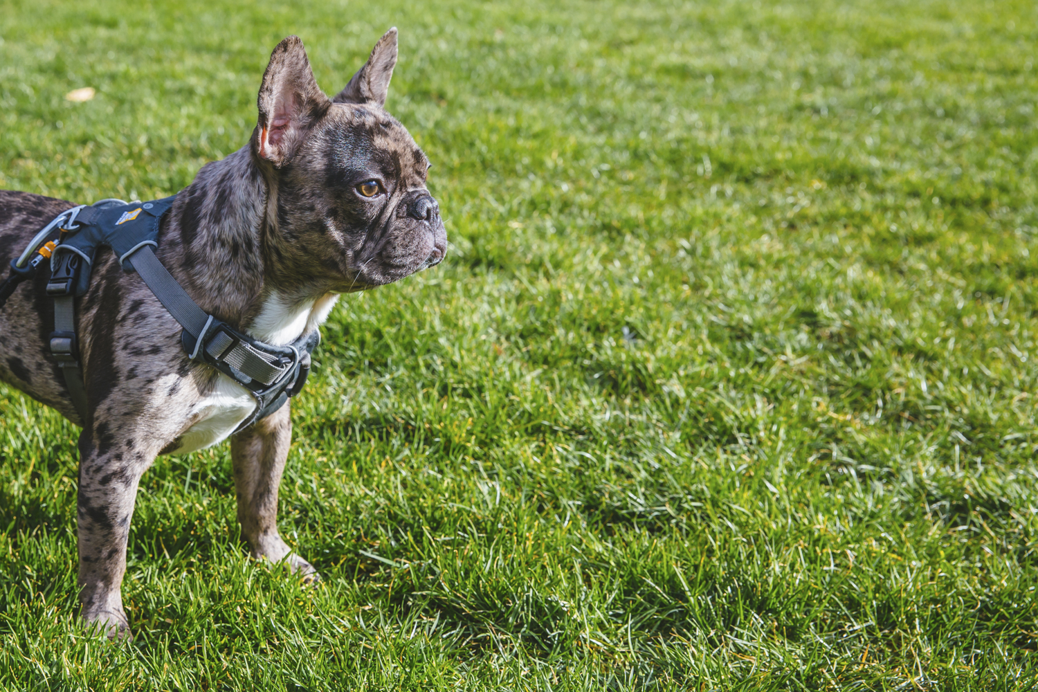 "Meet one-year-old Mateo! Mateo is a French Bulldog living life in the big city. You can probably see Mateo strolling the streets of downtown somewhere between Amazon dog park, Nordstrom, Lake Union, Mud Bay and Sculpture Park (his favorite spots!). Mateo likes blueberries, broccoli, peanut butter, cuddling, stealing other dogs balls at the park, giving kisses, chewing on furniture, ripping apart toys and going into ""gremlin mode."" He dislikes sirens, vacuums and when other dogs don't want to play with him. You can follow the adventures of Mateo the city pup on instagram at @mateothemerle.{ }The Seattle RUFFined Spotlight is a weekly profile of local pets living and loving life in the PNW. If you or someone you know has a pet you'd like featured, email us at hello@seattlerefined.com or tag #SeattleRUFFined and your furbaby could be the next spotlighted! (Image: Sunita Martini / Seattle Refined)."