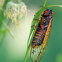 Cicadas making once-every-17 years appearance in CNY: Will this be the last time?