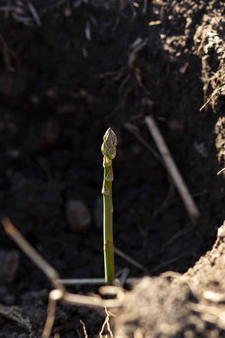 <p>Asparagus is one of the spring vegetables grown on the farm for the CSA shares. / Image: Allison McAdams{&nbsp;}// Published: 5.15.20</p>