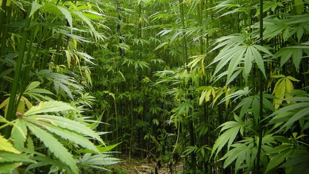 the history of the cultivation of the industrial hemp