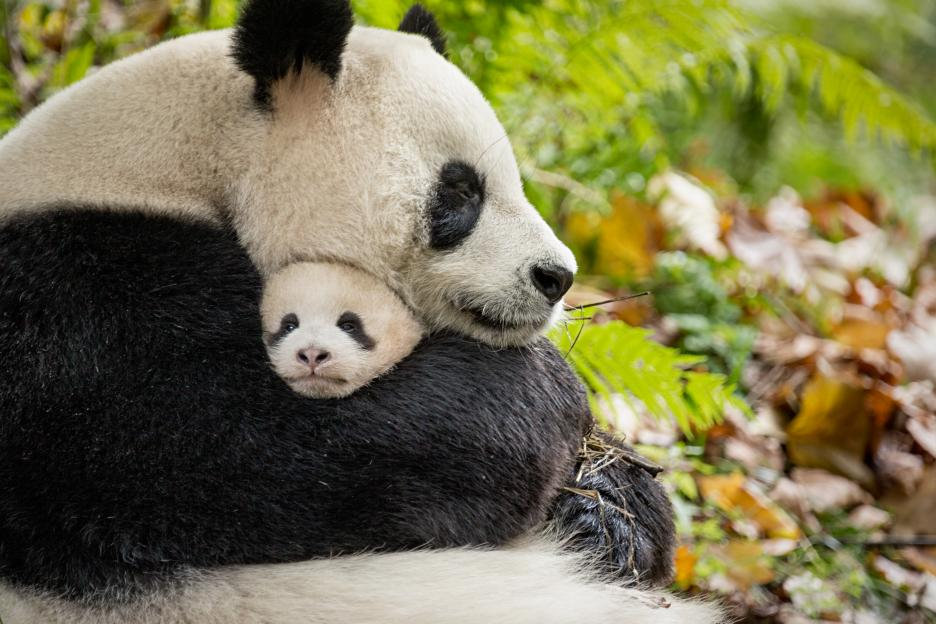 "A mother panda and her cub in Disney Nature's ""Born in China"" film."