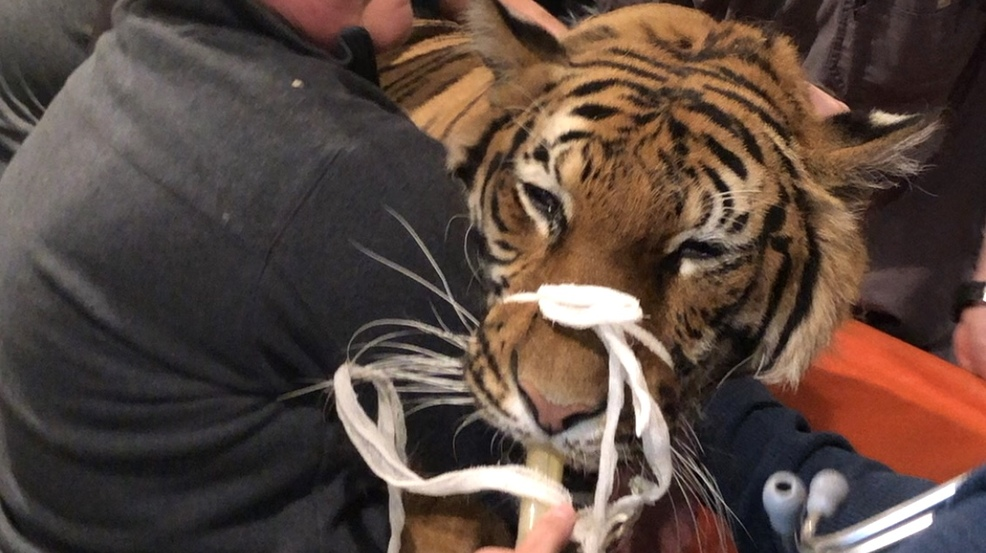 Tiger tale: Cincinnati animal hospital examines its biggest cat ever