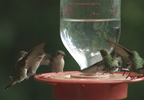HUMMINGBIRDS IN JAC. CO.transfer_frame_897.jpg