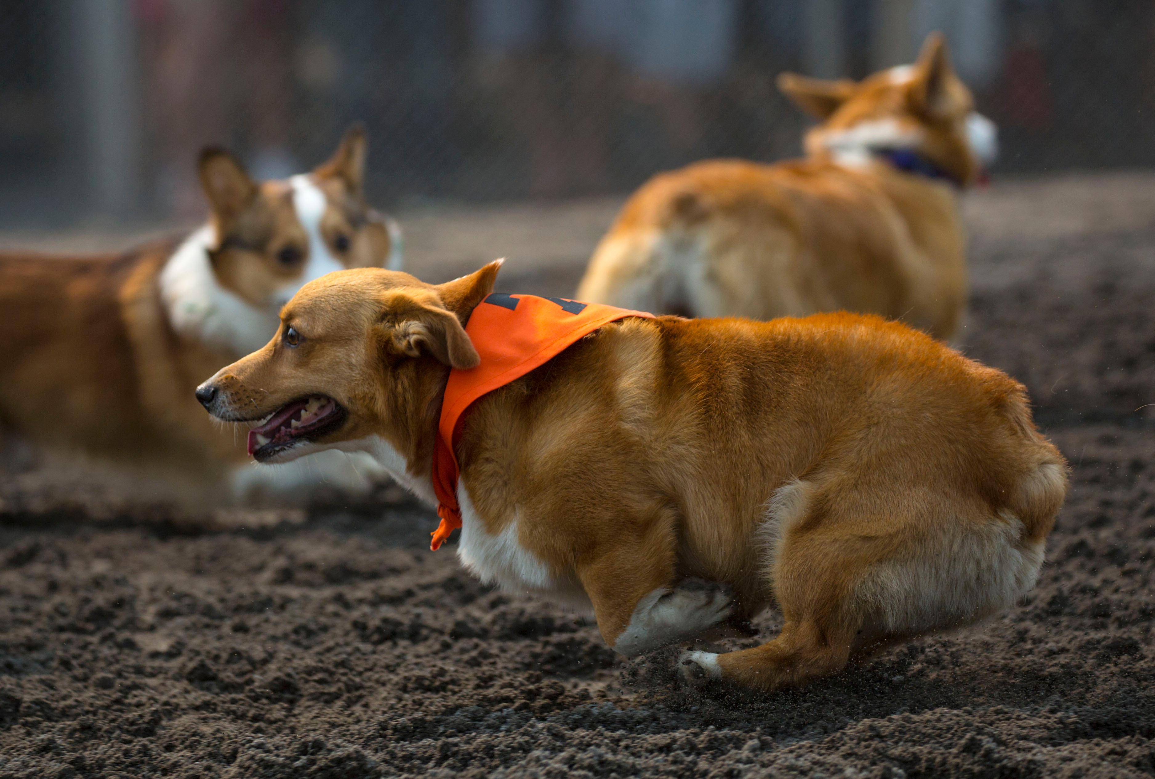 Dozens of Corgis took Emerald Downs by storm as they competed in the first annual Corgi Races. (Sy Bean / Seattle Refined)