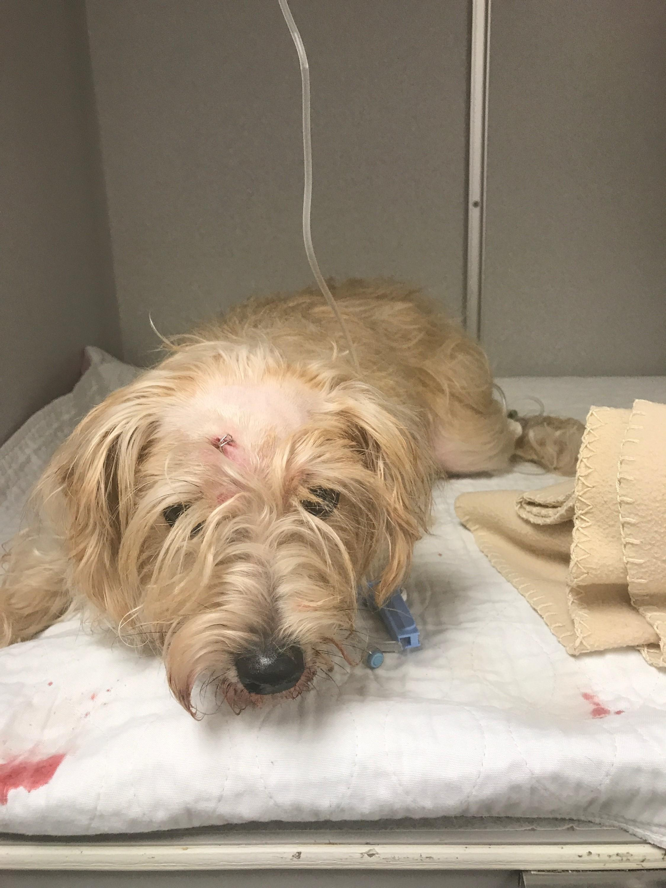 Officers are looking for the owners of a female terrier mix dog after a man was seen beating the animal with a baseball bat Friday morning, Springfield Police said. (SPD)
