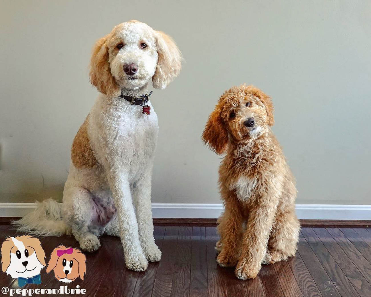 Pepper and Brie are Standard Goldendoodles who are siblings and best friends. / Image courtesy of Instagram user @pepperandbrie // Published: 11.28.18