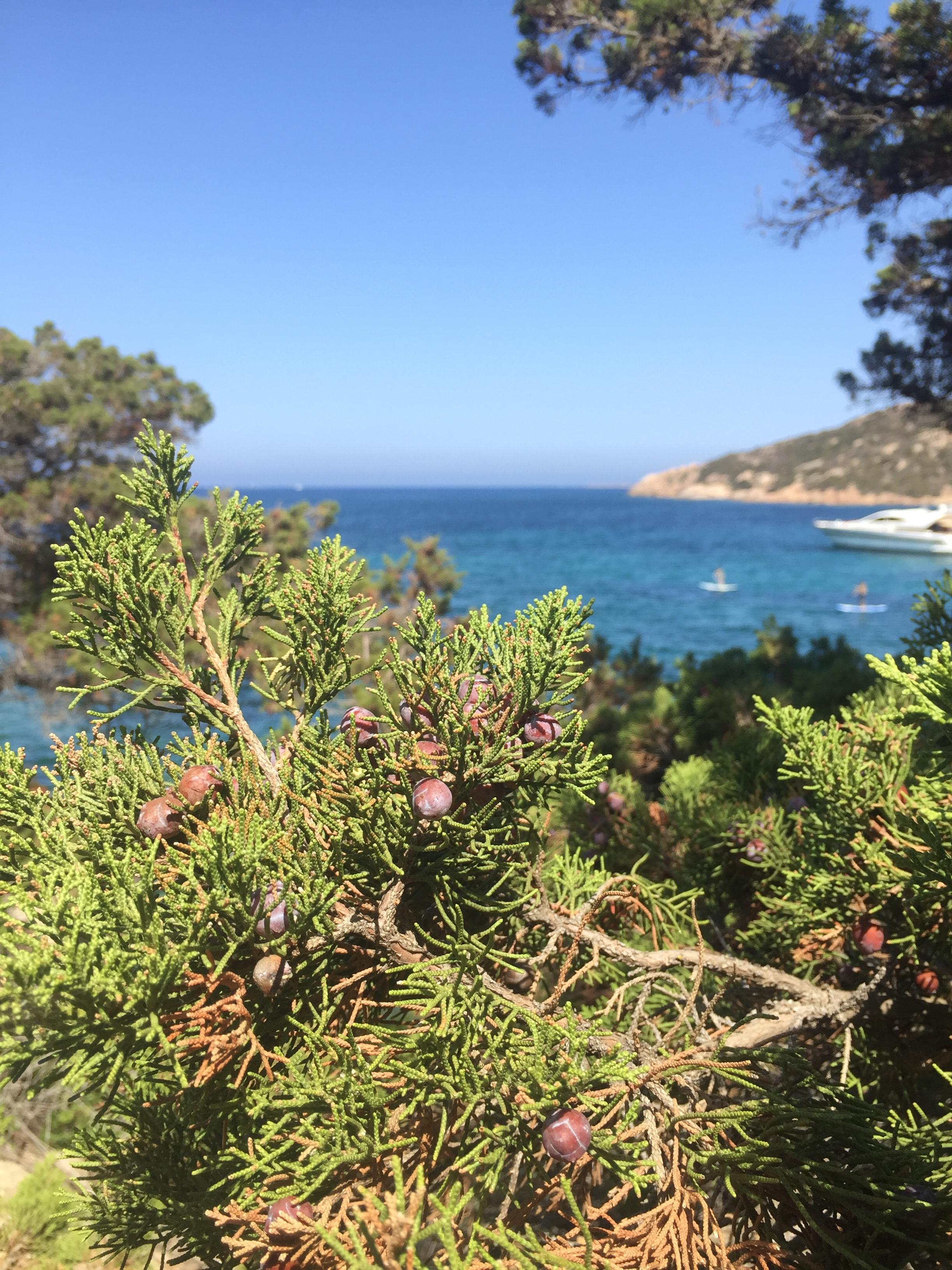 Here you can see Juniper berries ripening in the seaside sun of Sardinia. He described the aromas of the island as truly amazing! (Image: Courtesy Nicholas Stefanelli)