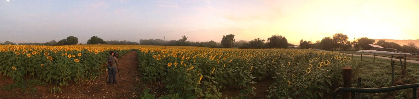 Smith-Perry Berry farm in Ooltewah features sunflowers and produce to the public (WTVC)