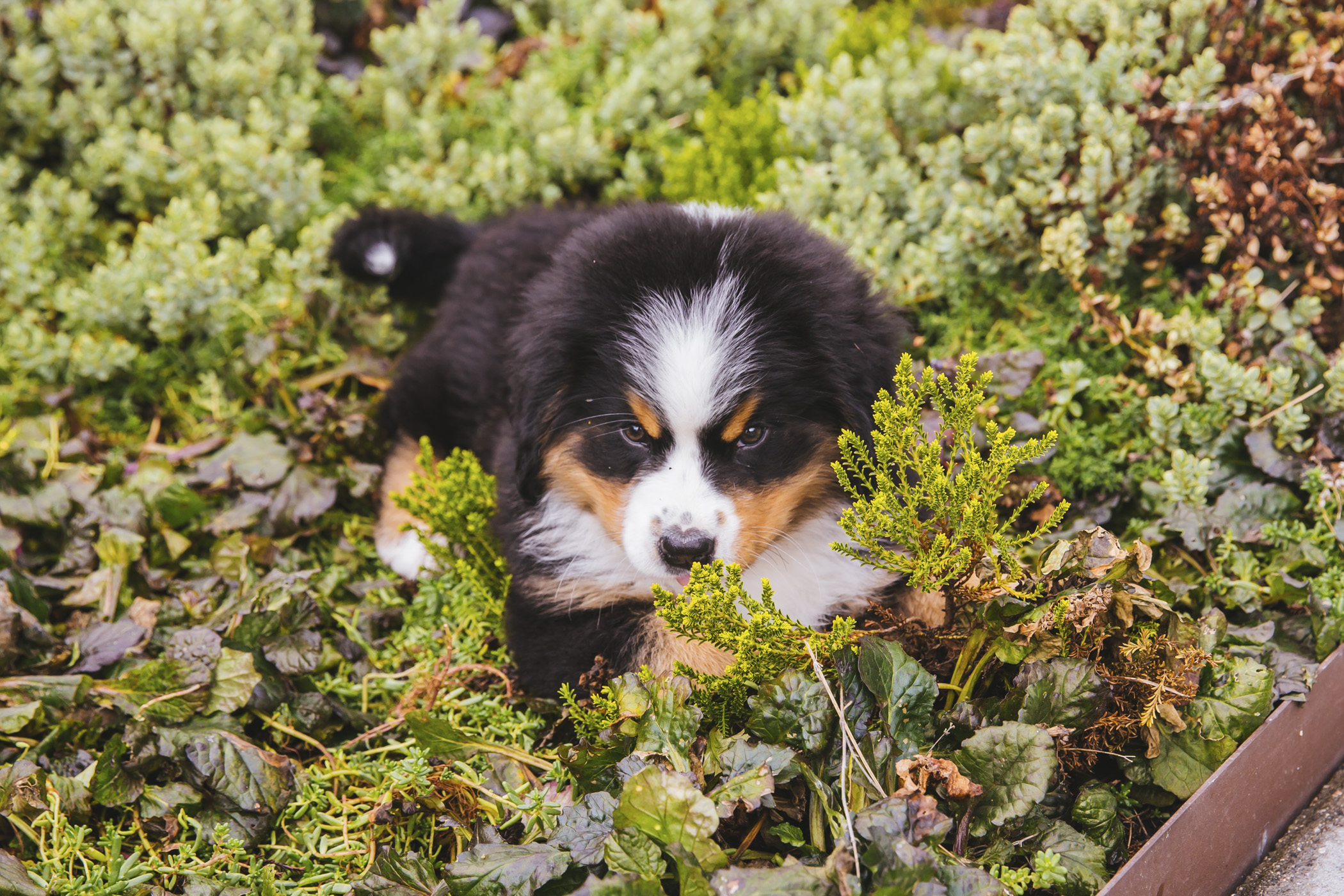 <p>Meet this gorgeous girl, Linda! Linda is 12 weeks old and has spent most of this Fall trying to get attention from her big fur-brother Phil. Linda loves belly rubs, treats and long naps after chasing Phil around the yard. She likes Phil, breweries and treats. You can follow Linda's life on her older brother's instagram page, @phil_the_berner.{&nbsp;}The Seattle RUFFined Spotlight is a weekly profile of local pets living and loving life in the PNW. If you or someone you know has a pet you'd like featured, email us at hello@seattlerefined.com or tag #SeattleRUFFined and your furbaby could be the next spotlighted! (Image: Sunita Martini / Seattle Refined).</p>