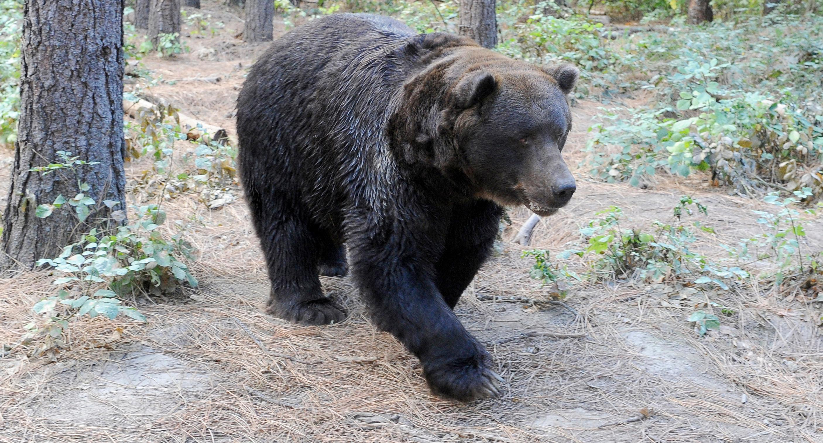 Andy Atkinson / Mail Tribune{ } Kodi the grizzly bear walks through his yard at Wildlife Images.
