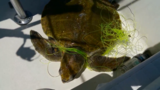 VIDEO: Locals save entangled sea turtle off of Pensacola Beach