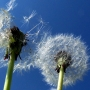 Wind makes things worse for allergy sufferers